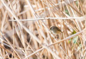 Voorjaarswandeling: op zoek naar zomervogels, zoals de tjiftjaf